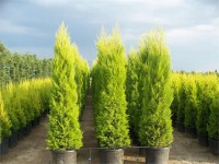 Cupressus mac.Gold gr.