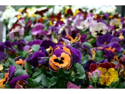 Mevsimlik çiçekler